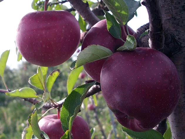 Посадка колоновидных яблонь и уход за ними