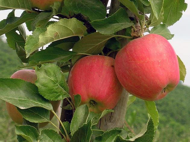 Крупные плоды колоновидной яблони