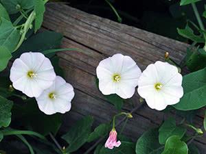 Цветок вьюнок в саду