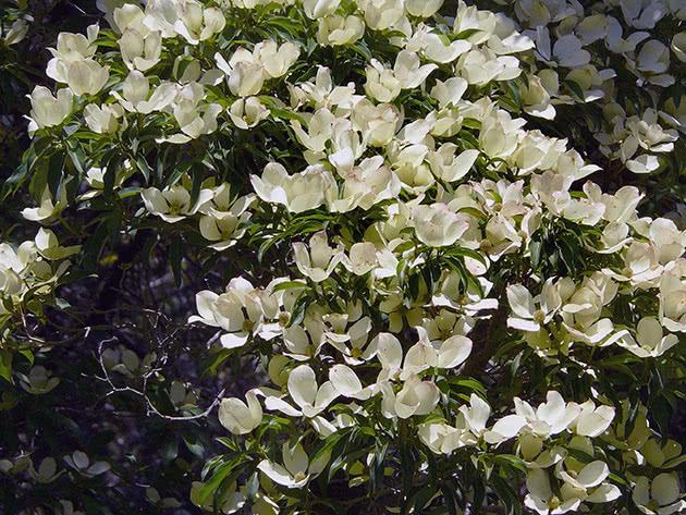 Цветущий кизил в саду