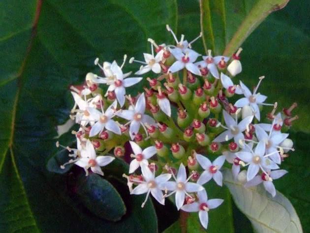 Кизил красный, или кроваво-красный / Cornus sanguinea