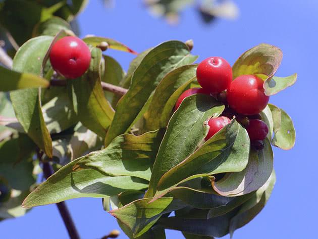 Куст кизила с ягодами
