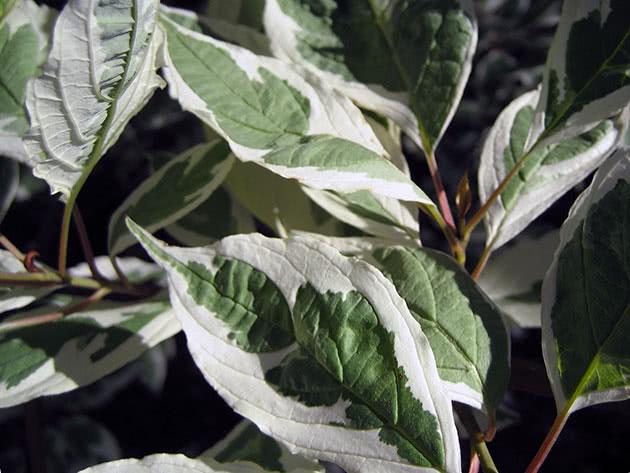 Выращивание дерена белого в саду
