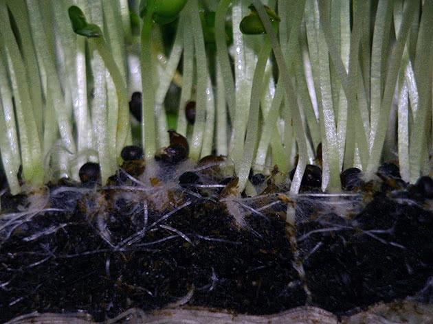 Як правильно вирощувати крес-салат