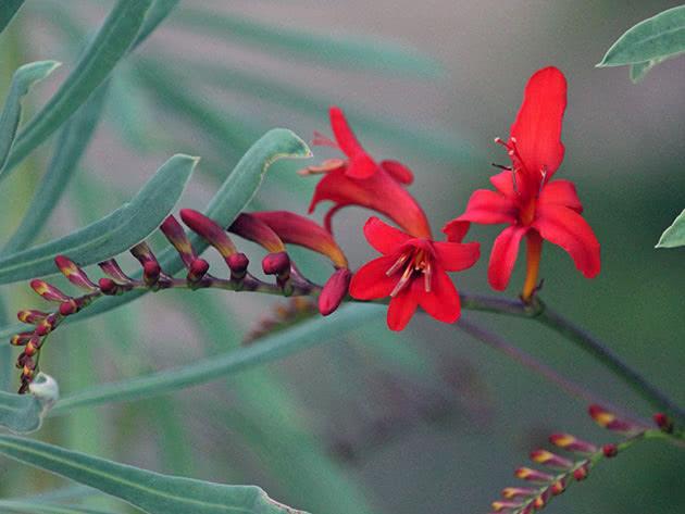 Выращивание крокосмии из семян (монтбреции)