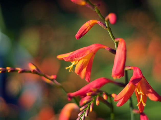 Цветение крокосмии в саду