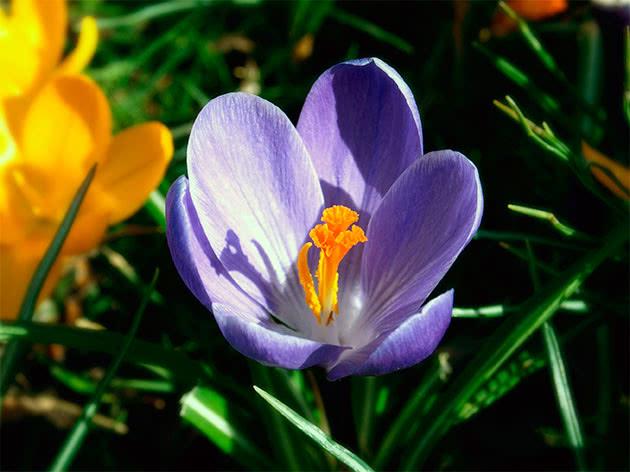 Цветок крокус в саду