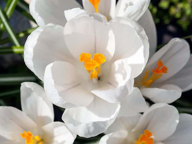 Цвітіння крокусів
