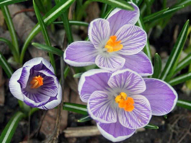 Цветы крокусы в саду