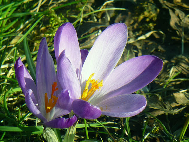 Крокус весенний / Crocus vernus