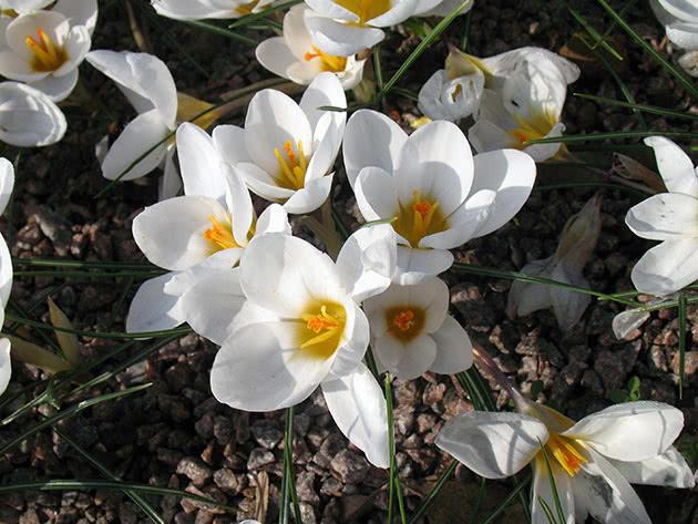 Крокус двуцветковый / Crocus biflorus