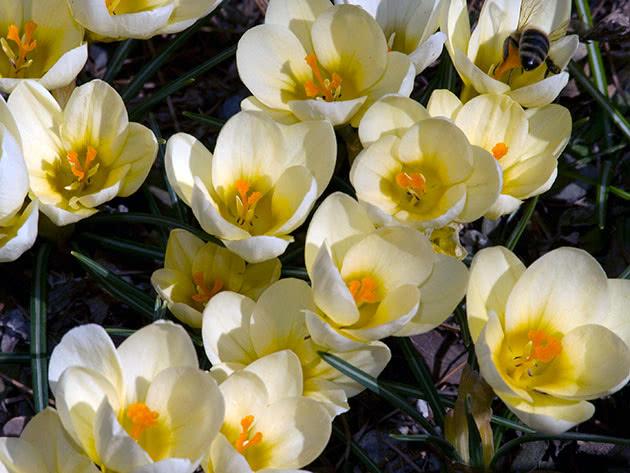 Крокус золотистый / Crocus chrysanthus