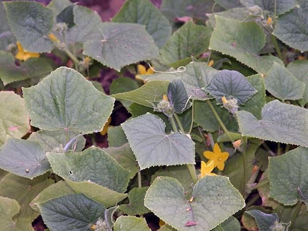 Цвітіння огірків