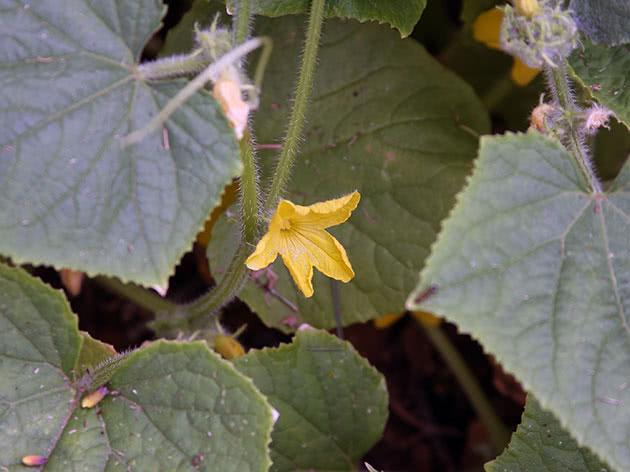 Цвітіння огірків на городі