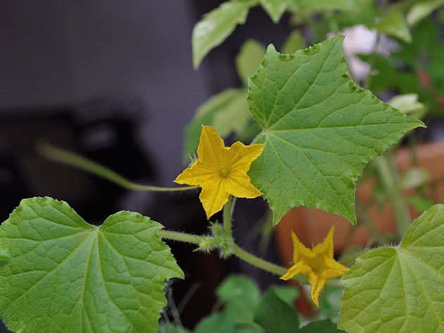 Квітучий огірок
