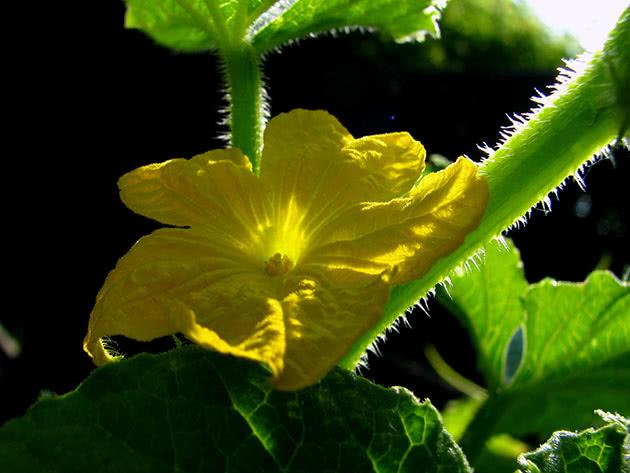 Квітуча ліана огірків