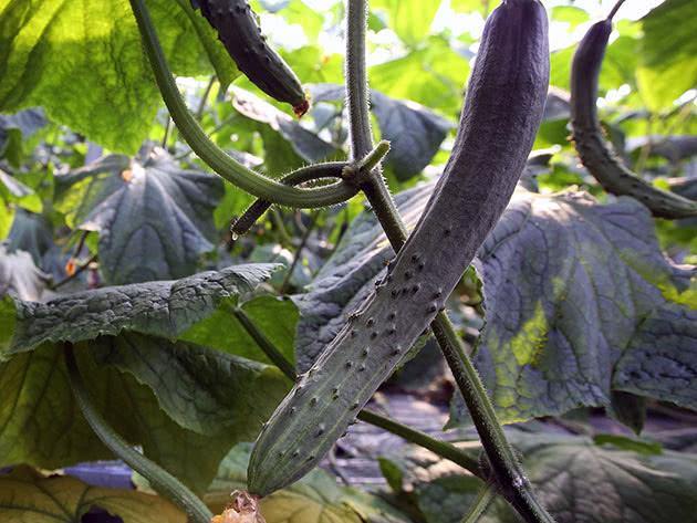 Рослина огірок дозріває