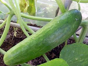 Сорта огурцов для выращивания в теплице