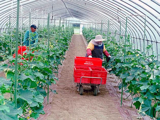 Сбор урожая тепличных огурцов