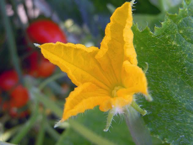 Как цветут в теплице огурцы