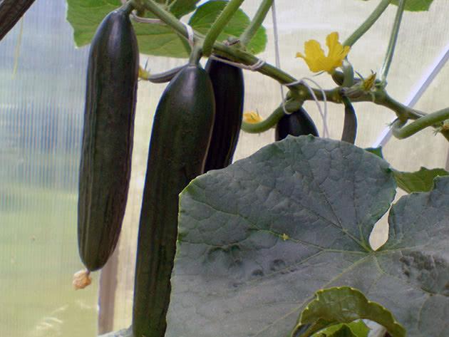 Выращивание огурцов в теплице – посадка и уход
