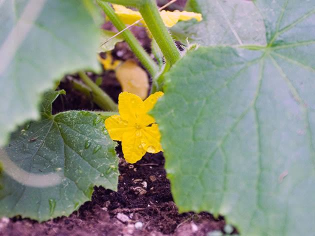 Как цветет в теплице огурцы