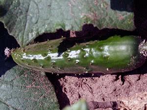 Сорта огурцов для выращивания в открытом грунте
