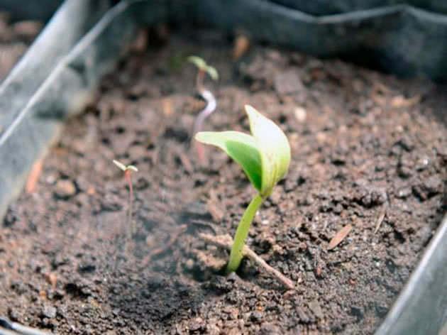 Посев семян на рассаду огурцов