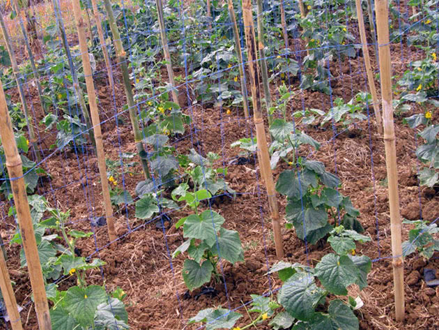 Уход за рассадой огурцов в домашних условиях