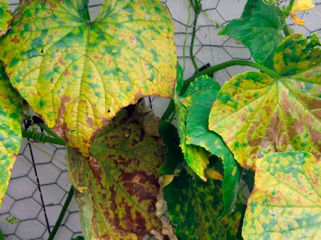Почему желтеют листья огурцов в теплице и в открытом грунте