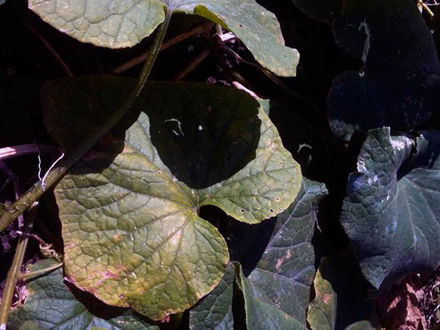 Листья огурцов желтеют и сохнут – что делать