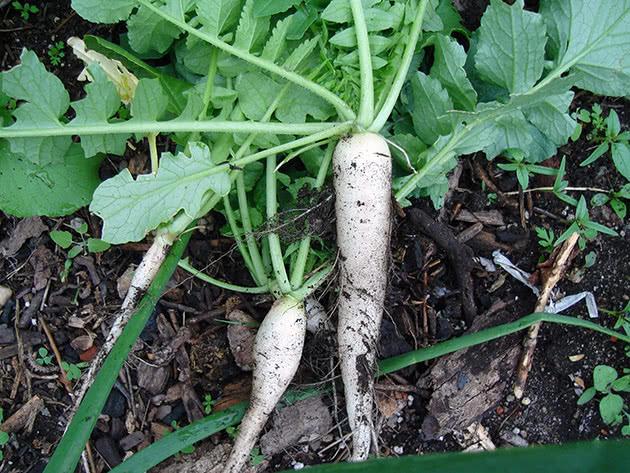 Як саджати і доглядати за дайконом в саду