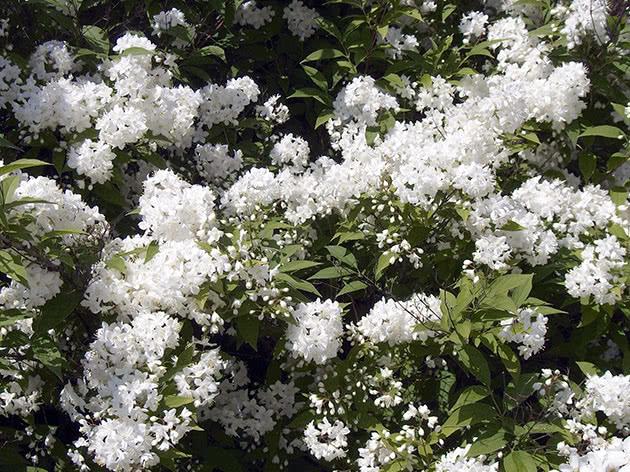 Дейція амурська, або дрібноквіткова / Deutzia amurensis