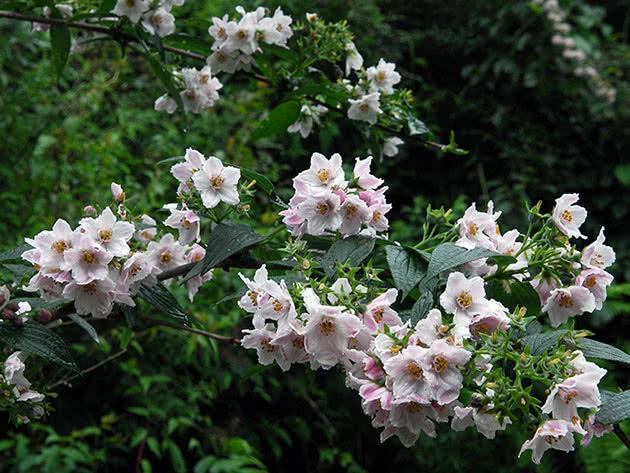 Дейція довголиста / Deutzia longifolia