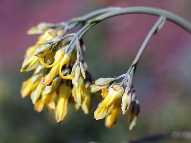 Дицентра золотистоцветковая / Dicentra chrysantha