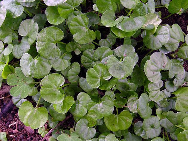 Выращивание дихондры из семян рассадой