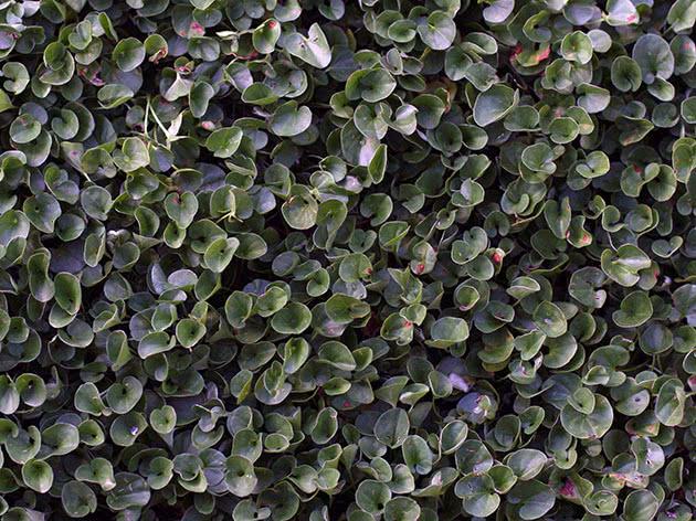 Выращивание дихондры в домашних условиях