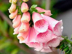 Квітка наперстянка