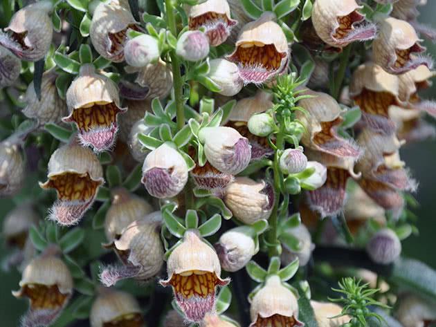 Наперстянка ржавая (Digitalis ferruginea)