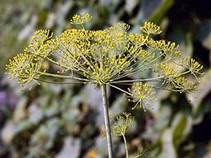 Растение укроп