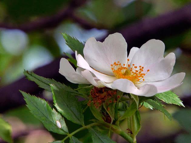 Как сажать и ухаживать за шиповником в саду