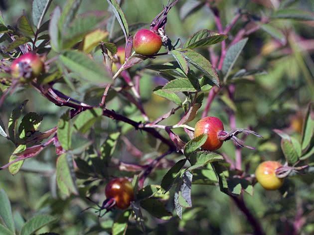 Условия выращивания шиповника