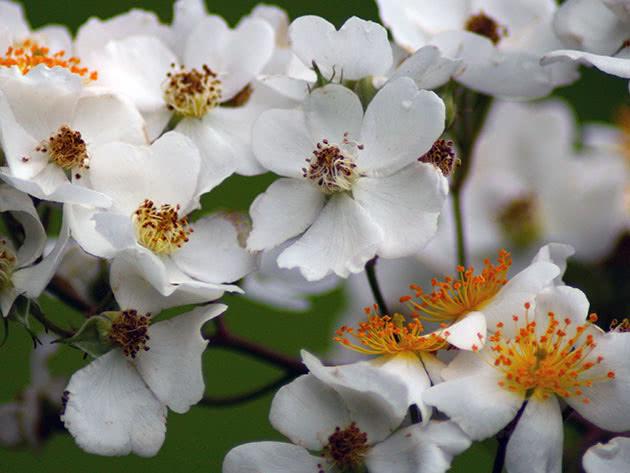 Цветение кустов шиповника в саду