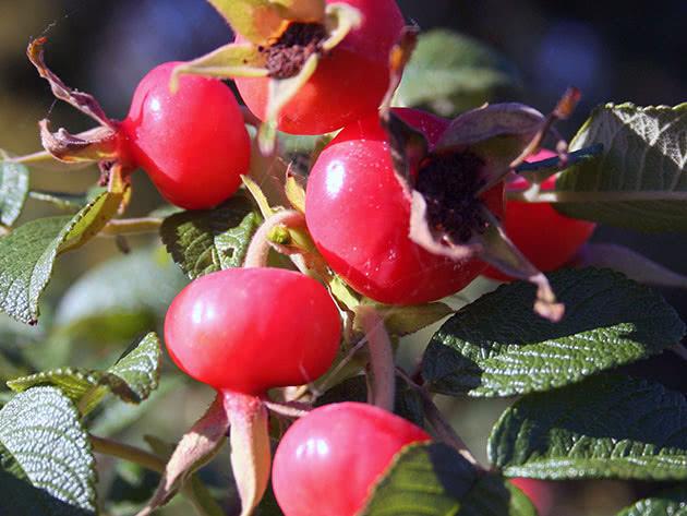 Пересадка и размножение шиповника в грунте