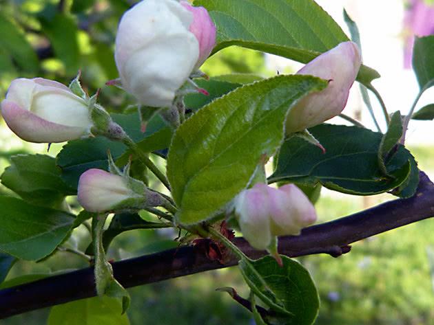Цветение карликовой яблони