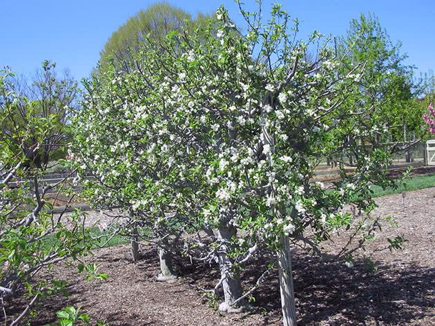 Посадка и уход за карликовой яблоней в саду