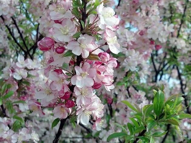 Как цветет карликовая яблоня