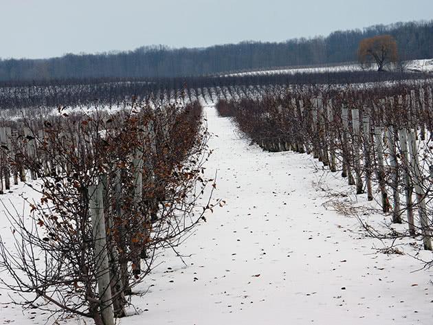 Карликовые яблони зимой