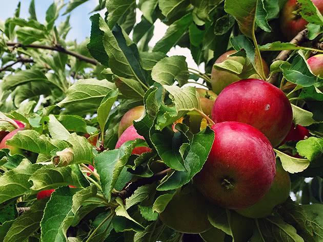 Как ухаживать за карликовой яблоней
