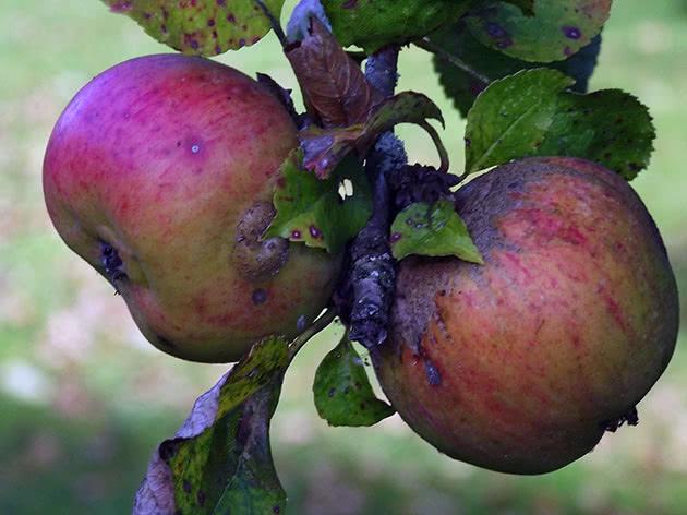 Яблоки на ветке карликовой яблони